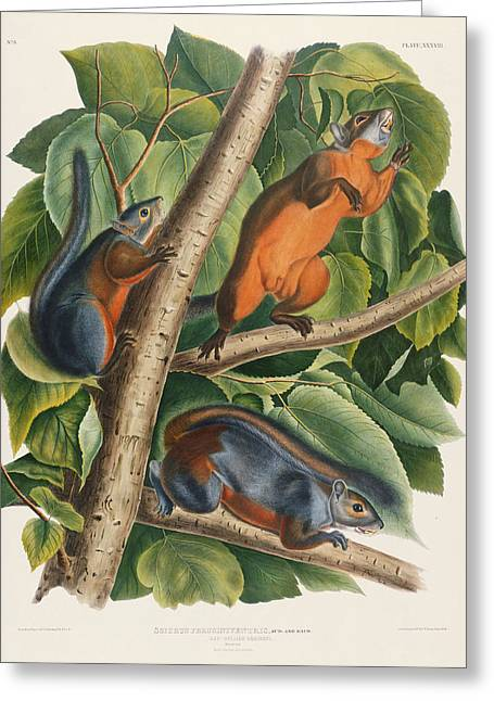 Wild Life Paintings Greeting Cards - Red Bellied Squirrel  Greeting Card by John James Audubon