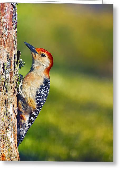 Bird On Tree Greeting Cards - Red-Bellied Tree Pecker Greeting Card by Bill Tiepelman