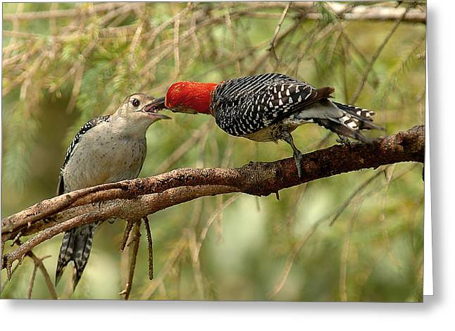 Feeding Young Greeting Cards - Red Bellied Woodpeck feeding young Greeting Card by Alan Lenk