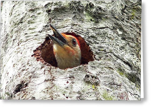 Woodpecker Greeting Cards - Red-bellied Woodpecker 03 Greeting Card by Al Powell Photography USA