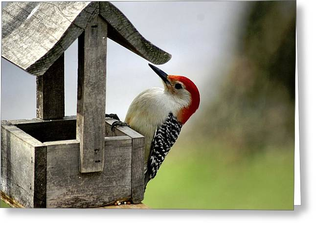 Larry Bird Photographs Greeting Cards - Red Bellied Woodpecker Greeting Card by L Granville Laird