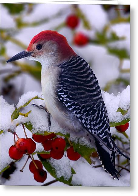 Woodpeckers Greeting Cards - Red Bellied Woodpecker Greeting Card by Ron Jones