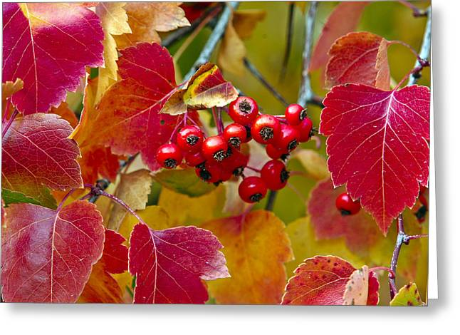 Red Berries Fall Colors Greeting Card by James Steele