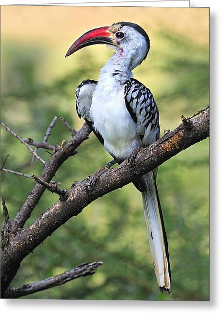 Red-billed Hornbill Greeting Card by Tony Beck