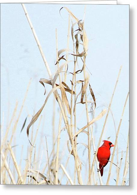 Bamboo Pyrography Greeting Cards - Red Bird in Canes Greeting Card by W Gilroy