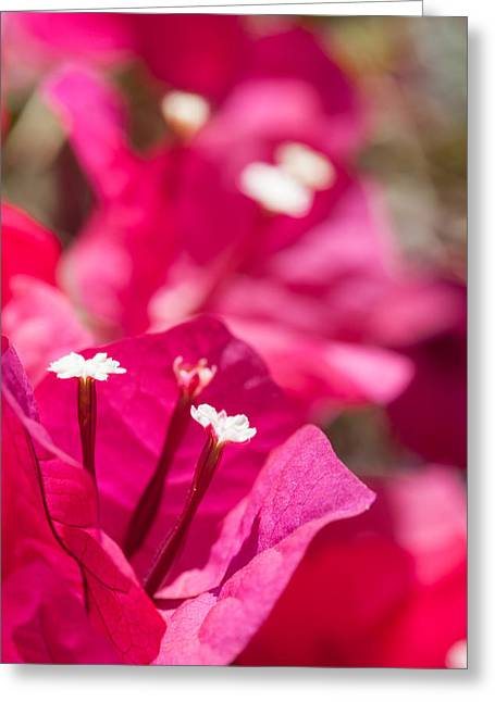 Caryophyllales Greeting Cards - red Bougainvillea Greeting Card by Ralf Kaiser