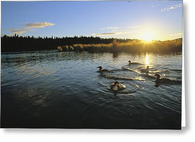 Sunset Scenes. Greeting Cards - Red-breasted Mergansers Swim On Brooks Greeting Card by Michael Melford