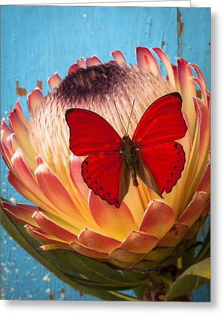 Proteas Greeting Cards - Red butterfly on Protea Greeting Card by Garry Gay