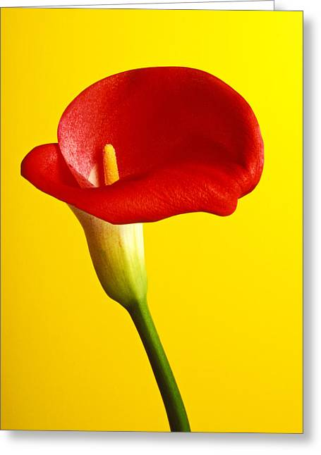 Calla Lily Greeting Cards - Red calla lilly  Greeting Card by Garry Gay