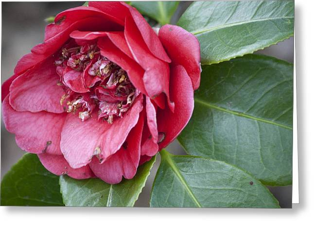 Red Camellia Squared Greeting Card by Teresa Mucha