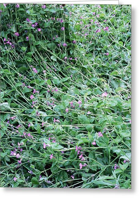 Flattened Greeting Cards - Red Campion (silene Dioica) Greeting Card by Maxine Adcock