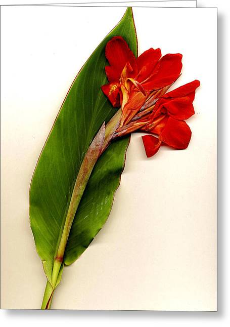 Canna Mixed Media Greeting Cards - Red Canna Greeting Card by JDon Cook