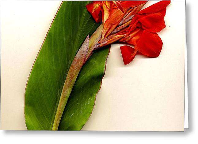 Red Canna Greeting Card by JDon Cook
