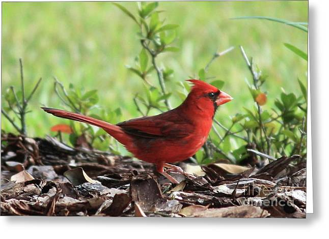 Back Yard Birds Greeting Cards - Red Cardinal Greeting Card by Carol Groenen