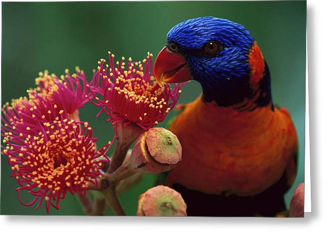 Ai Greeting Cards - Red-collared Lorikeet Trichoglossus Greeting Card by Jean-Paul Ferrero