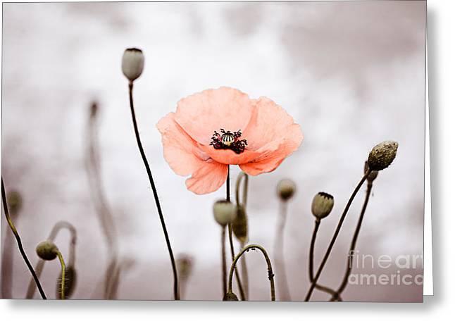 Botanicals Greeting Cards - Red Corn Poppy Flowers 01 Greeting Card by Nailia Schwarz