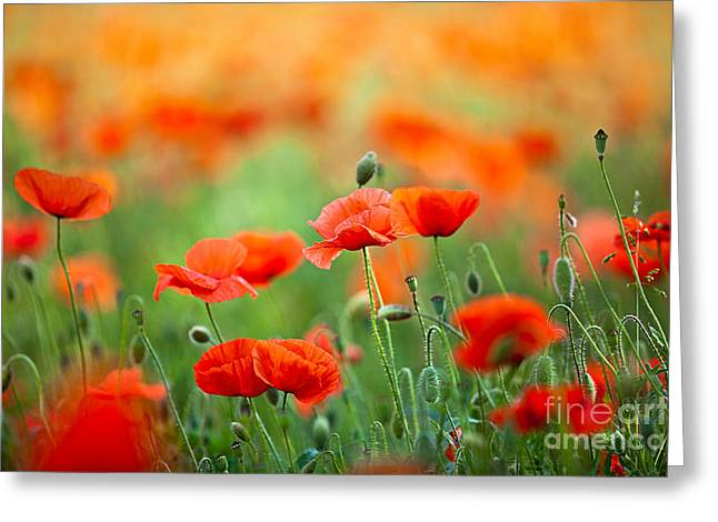 Botanicals Greeting Cards - Red Corn Poppy Flowers 03 Greeting Card by Nailia Schwarz