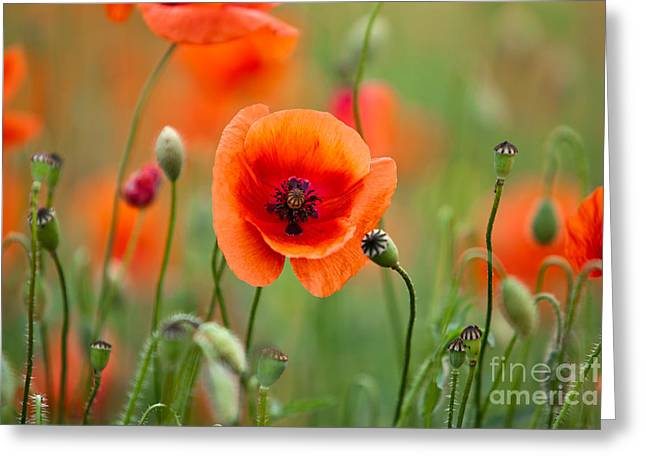 Blossoming Greeting Cards - Red Corn Poppy Flowers 07 Greeting Card by Nailia Schwarz