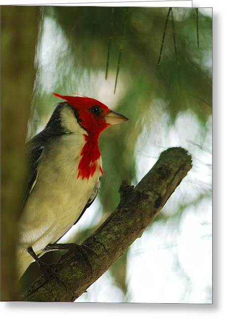 Red Crest Greeting Cards - Red Crested Cardinal 2 Greeting Card by Michael Peychich
