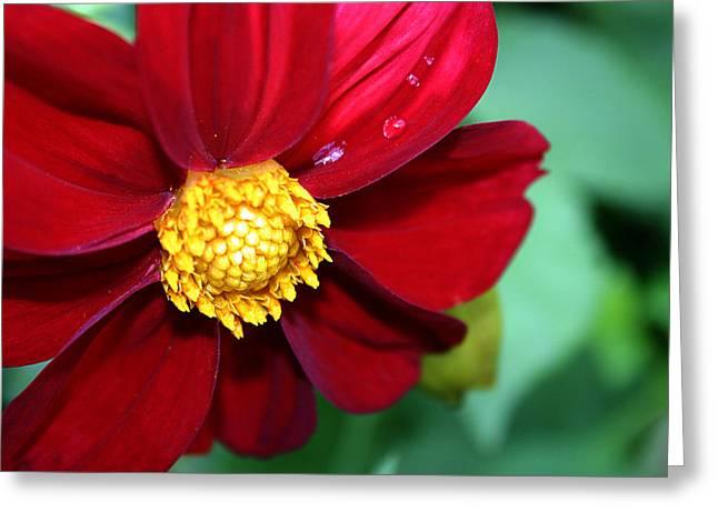 Daliha Greeting Cards - Red dahlia Greeting Card by Emanuel Tanjala
