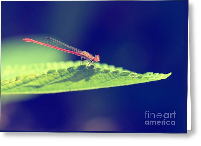 Red Photographs Greeting Cards - Red Damselfly Greeting Card by Betty LaRue