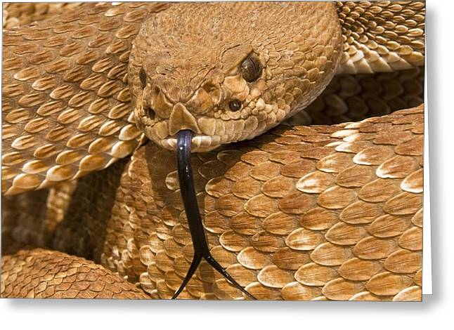 Californian Greeting Cards - Red-diamond Rattlesnakecrotalus Ruber Greeting Card by Jack Goldfarb
