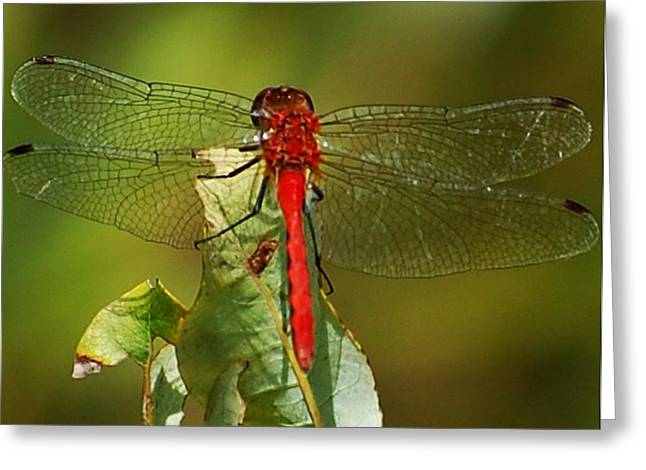 Digital Photographs Greeting Cards - Red Dragon Fly Greeting Card by David Lane