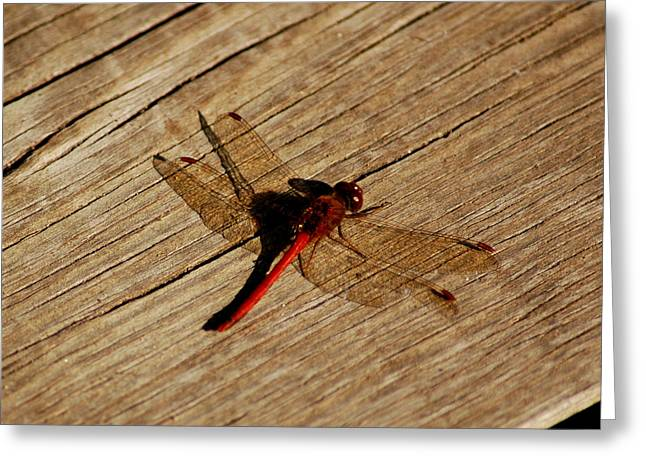 Nature Center Pond Greeting Cards - Red Dragon Fly Greeting Card by LeeAnn McLaneGoetz McLaneGoetzStudioLLCcom