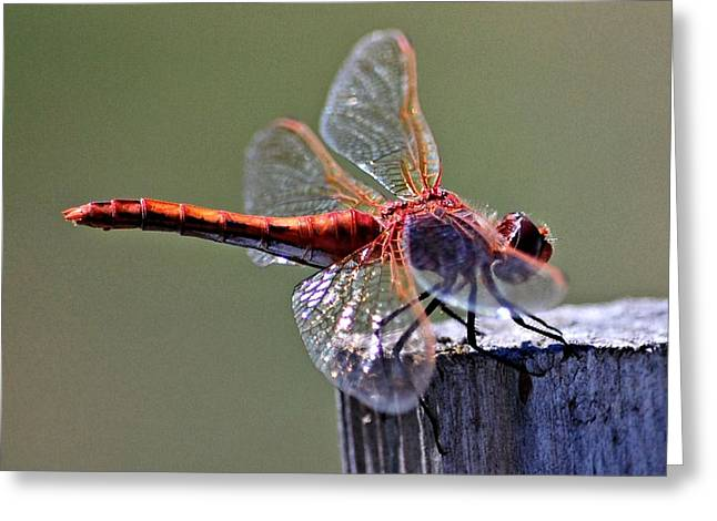Macro Dragonfly Picture Greeting Cards - Red Dragon on a post Greeting Card by Don Mann