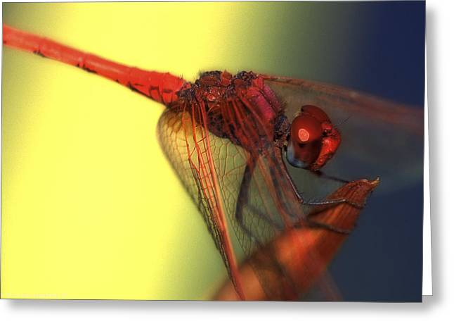Isaac Silman Greeting Cards - Red dragonfly 1 Greeting Card by Isaac Silman