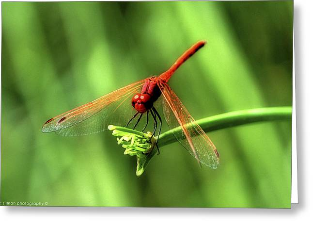 Isaac Silman Greeting Cards - Red dragonfly 2 Greeting Card by Isaac Silman