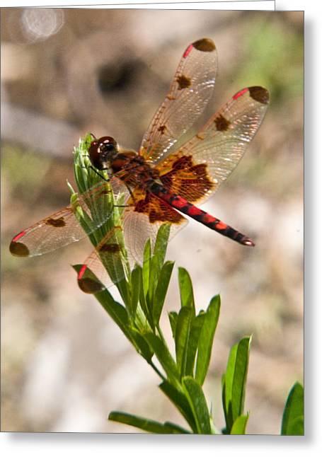 Odonata Greeting Cards - Red Dragonfly Greeting Card by Douglas Barnett
