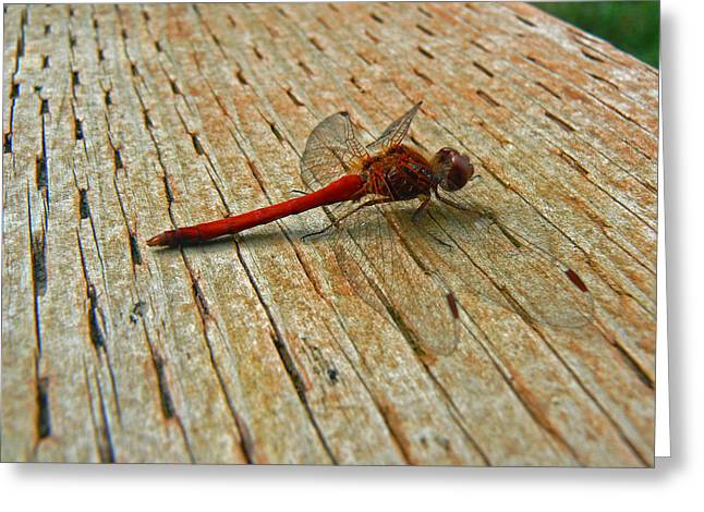 Mosquito Eater Greeting Cards - Red Dragonfly Greeting Card by Pamela Patch
