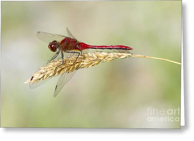 Meadowhawk Greeting Cards - Red Dragonfly Greeting Card by Sharon  Talson