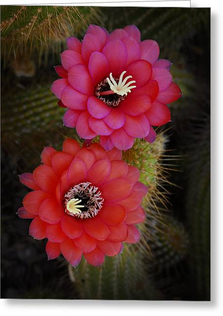 Torch Cactus Greeting Cards - Red Duo  Greeting Card by Saija  Lehtonen