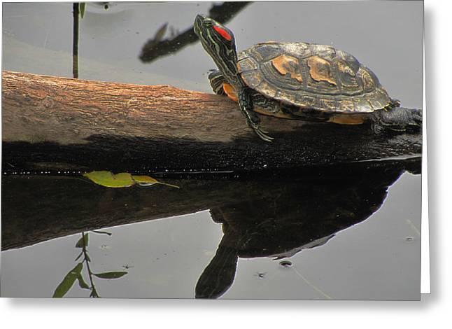 Slider Greeting Cards - Red Eared Slider Turtle Greeting Card by Scott Hovind