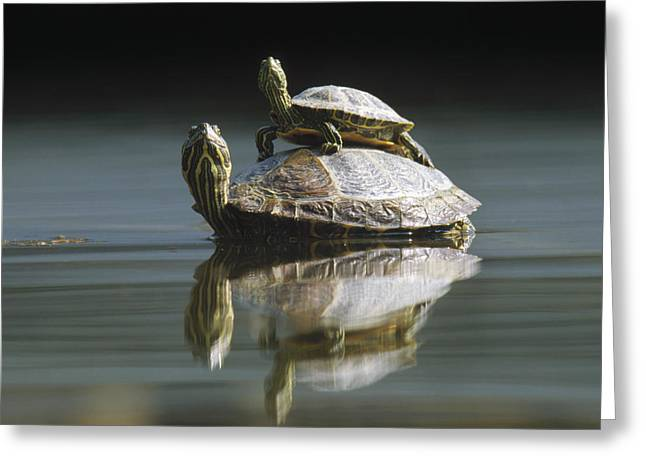 Red-eared Greeting Cards - Red Eared Sliders in Pond Greeting Card by Konrad Wothe