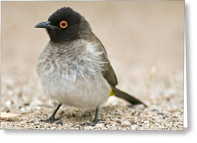 Northern Africa Greeting Cards - Red-eyed Bulbul Greeting Card by Peter Chadwick