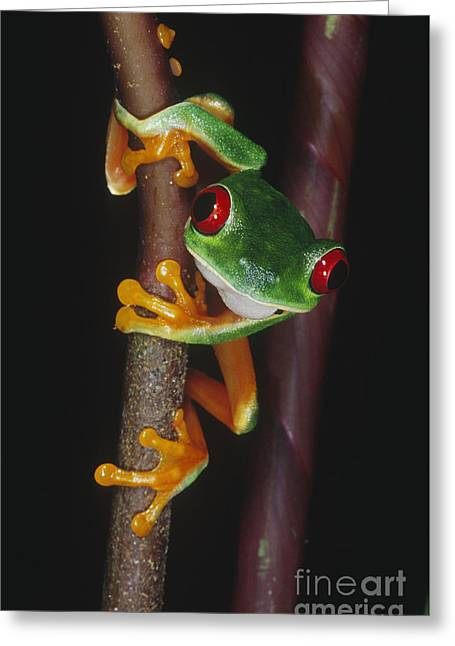 Red Eyed Leaf Frog Greeting Cards - Red-eyed Tree Frog Agalychnis Callidryas Greeting Card by Gregory G. Dimijian, M.D.