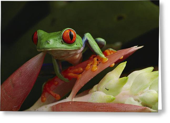 Costa Greeting Cards - Red-eyed Tree Frog In Costa Rica Greeting Card by Michael Nichols