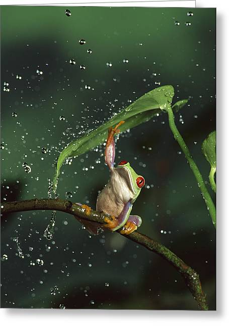 High Speed Greeting Cards - Red-eyed Tree Frog In The Rain Greeting Card by Michael Durham