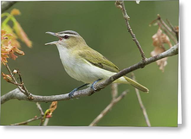 Us Open Photographs Greeting Cards - Red-eyed Vireo Vireo Olivaceus Calling Greeting Card by Steve Gettle