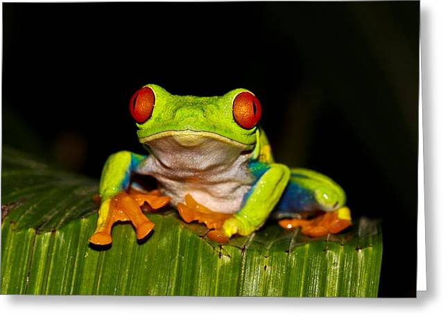 Tree Frog Greeting Cards - Red Eyes 1 Greeting Card by Tom and Pat Cory