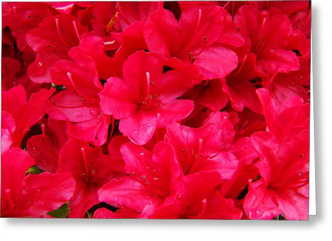 Red Floral art prints Rhododendron Flowers Rhodies Greeting Card by Baslee Troutman Fine Art Prints