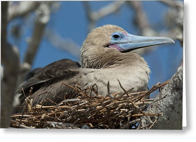Brown Booby Greeting Cards - Red-footed Booby Sula Sula Sitting In A Greeting Card by Keith Levit