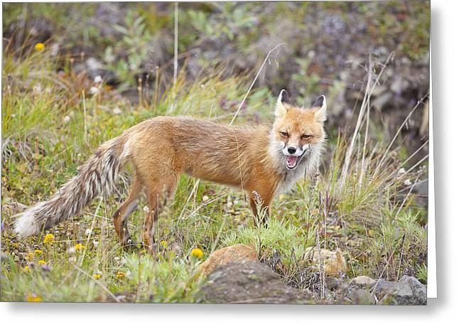 Fox Squirrel Greeting Cards - Red Fox aith a Ground Squirrel Greeting Card by Tim Grams
