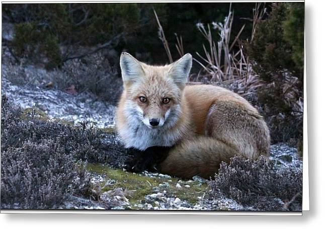 Red Fox Greeting Card by Angele Marzi