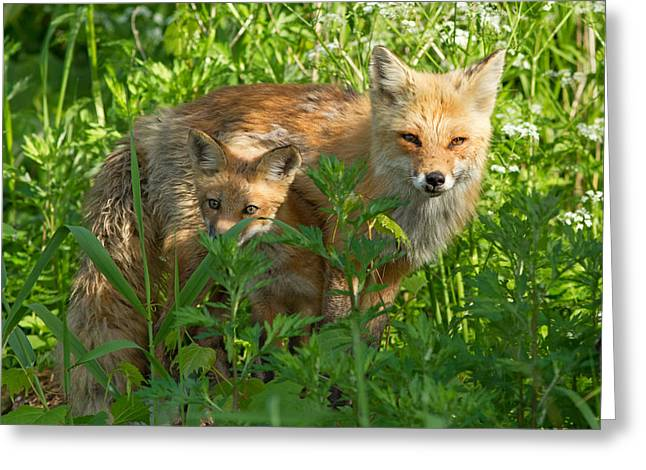 Clever Greeting Cards - Red fox family Greeting Card by Mircea Costina Photography