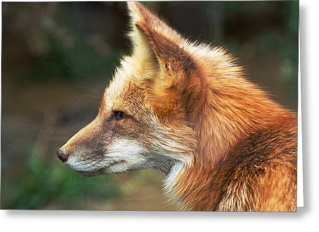 Cheryl Cencich Greeting Cards - Red Fox Profile Greeting Card by Cheryl Cencich