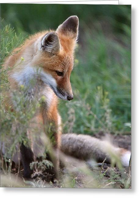 Pup Digital Art Greeting Cards - Red Fox pup outside its den Greeting Card by Mark Duffy